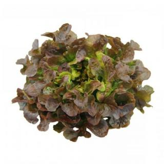 BIO Salat, Eichblatt rot